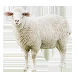 قیمت گوسفند زنده | مرکز خرید و عرضه دام زنده