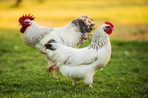 مرغ و خروس زنده