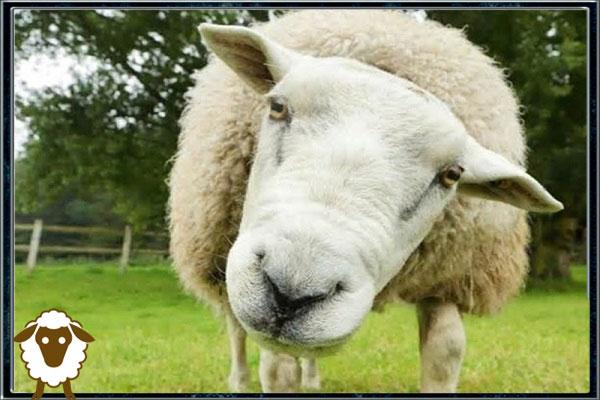 رفتارشناسی گوسفند زنده