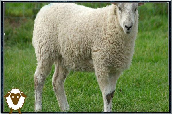 عادت های اشتباه گوسفندان