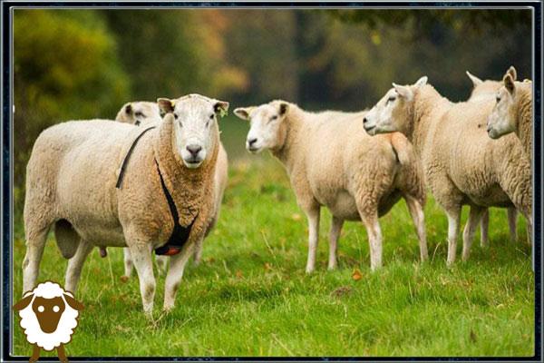 پیدا کردن جفت در گوسفندان